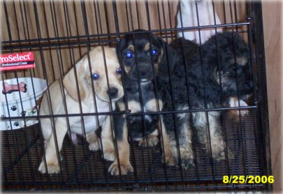 Schnocker Puppies
