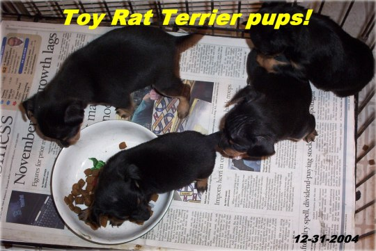 Chi-Poo, Poochis and Toy Rat Terriers !
